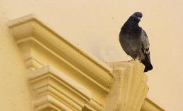 Отечественный голубь Стоковое Изображение RF