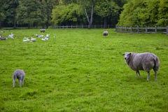 Отечественный домочадец состоя из овец и птиц Pasturing совместно стоковые фотографии rf