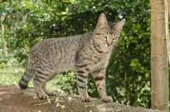 Отечественный Коротк-с волосами Tomcat в любов стоковые фото