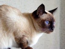 Отечественный кот Стоковая Фотография