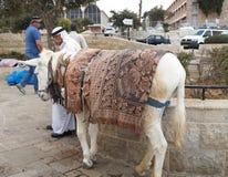 Отечественный осел для управлять туристов и арабского водителя Isr Стоковые Фото