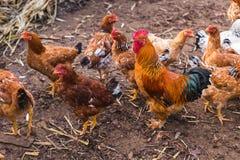 Отечественный цыпленок фермы Стоковая Фотография RF