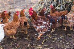 Отечественный цыпленок фермы Стоковое Изображение RF