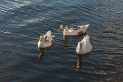 3 отечественных гусыни на реке Стоковое Изображение RF