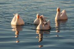 4 отечественных гусыни на реке Стоковое Фото