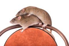 2 отечественных крысы Стоковые Изображения RF