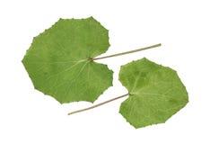 Отжатая и высушенная настурция листьев изолированная на белизне Стоковое Фото