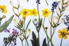 Отжатая и высушенная предпосылка цветков Стоковое Изображение