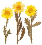 Отжатые желтые цветки хризантемы Стоковые Фото