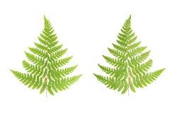 Отжатые и высушенные листья папоротников Листья изолированные на задней части белизны Стоковые Фотографии RF