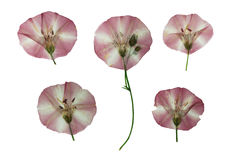 Отжатые и высушенные чувствительные прозрачные цветки вьюнка Стоковые Фотографии RF