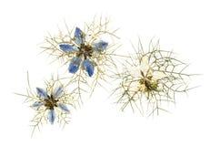 Отжатые цветки nigella Стоковые Фото