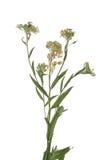 Отжатый высушенный цветок поля весны ветви Гербарий полевых цветков Стоковые Изображения