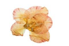 Отжатый и высушенный гладиолус цветка белизна изолированная предпосылкой Стоковое Изображение RF