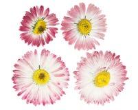 Отжатый и высушенный зацветите маргаритка маргаритки r стоковое изображение rf