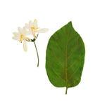 Отжатый и высушенный изолированный каприфолий цветков tataric, Стоковая Фотография RF