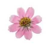 Отжатый и высушенный изолированный космос цветка, Стоковое Изображение