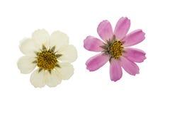 Отжатый и высушенный изолированный космос цветка, Стоковое фото RF