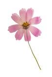 Отжатый и высушенный изолированный космос цветка, Стоковое Изображение RF