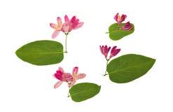 Отжатый и высушенный каприфолий цветков tataric, изолированный на белизне Стоковое Изображение RF