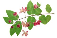 Отжатый и высушенный каприфолий цветков tataric Стоковое фото RF