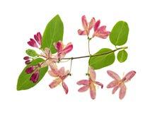 Отжатый и высушенный каприфолий цветков tataric Стоковое Изображение RF