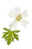 Отжатый и высушенный мускус просвирника цветка с зеленым цветом высек лист, Стоковое Фото