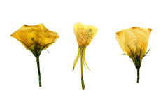 Отжатый и высушенный чувствительный прозрачный цветок 3 вьюнка Стоковое Изображение