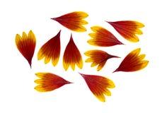 Отжатый и высушенный helenium лепестков цветка изолированный на белизне Стоковая Фотография RF