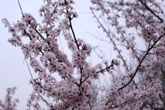 Открывать Китай: вишневый цвет на большой одичалой пагоде гусыни Стоковое Изображение