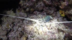 Открыл красочного омара на ноче snorkeling в рифе видеоматериал