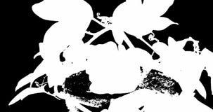 Открытие и закрывать цветка пассифлоры на черном канале альфы предпосылки сток-видео