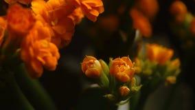 Открытие цветков весны Timelapse красивого цветения цветка весны открытое, весьма конец вверх зацветая фон на черные 4 k видеоматериал