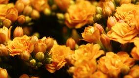 Открытие цветков весны Timelapse красивого цветения цветка весны открытое, весьма конец вверх Зацветая фон на черном 4K сток-видео