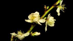 Открытие цветков персика сток-видео