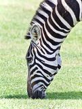 Открытка при зебра есть траву на поле Стоковое фото RF