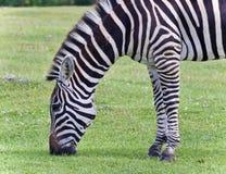 Открытка при зебра есть траву на поле Стоковые Фотографии RF