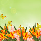 Открытка с тюльпанами свежих цветков и пустое место для вашего te Стоковое Изображение