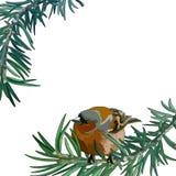 Открытка с bullfinch на ветви стоковая фотография