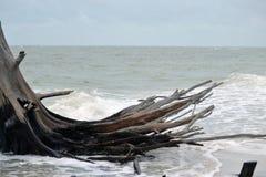 Открытое всем ветрам дерево на пляже Стоковые Изображения RF