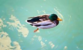 Открытое море поплавка цвета коричневого цвета зеленого цвета селезня утки Озеро Garda Sirmione Италия фото Стоковые Фото