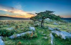 Открытые всем ветрам деревья на Dartmoor стоковая фотография rf