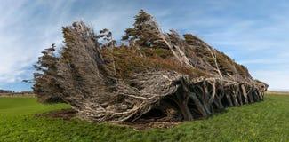 Открытые всем ветрам деревья, Catlins, Новая Зеландия Стоковое Изображение