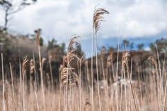 Открытые всем ветрам тростники в национальном парке Killarney стоковое фото rf