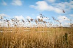 Открытые всем ветрам тростники Стоковое Изображение