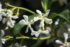 Открытые цветки jasminoides Trachelospermum жасмина стоковая фотография rf