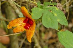 Открытый плод Serasee стоковая фотография