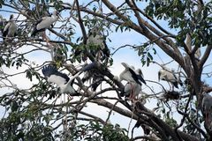 Открытый представленный счет окунь птицы аиста в гнезде и на ветви дерева Стоковое Изображение