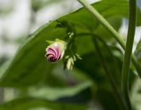 Открытый розовый бутон цветка славы утра Стоковые Фотографии RF
