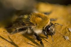 отмелое фокуса поля глубины пчелы селективное Стоковая Фотография RF